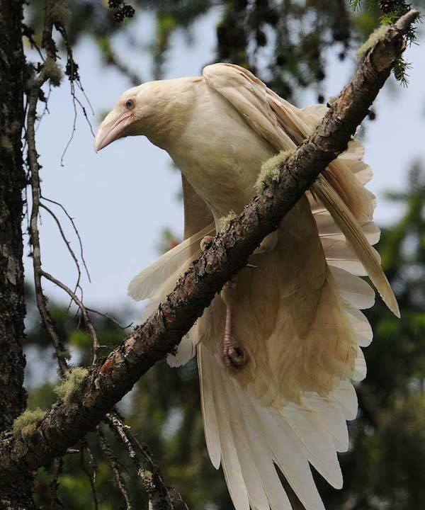 A white raven perched on a branch stretches a wing downward